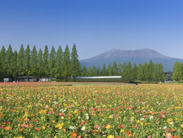 生駒高原のコスモス畑